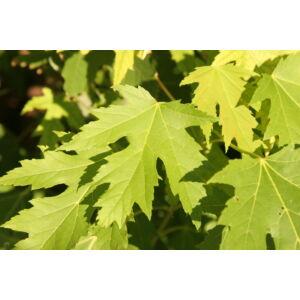 Acer saccharinum – Ezüst juhar (extra méretű koros)