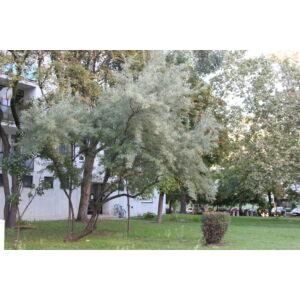 Elaeagnus angustifolia – Keskenylevelű ezüstfa