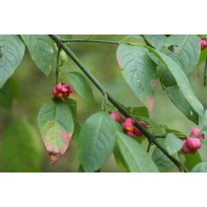 Euonymus europaeus – Csíkos kecskerágó