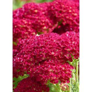 Achillea millefolium 'New Vintage Red' –  Cickafark (piros)