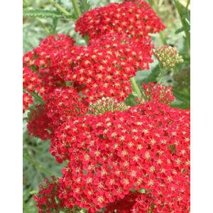 Achillea millefolium 'Red Velvet' - Élénkpiros közönséges cickafark