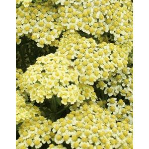 Achillea millefolium 'Summer Fruits Lemon' - Citromsárga közönséges cickafark