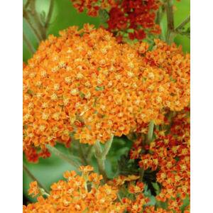 Achillea millefolium 'Terracotta' - Közönséges cickafark (terracotta)