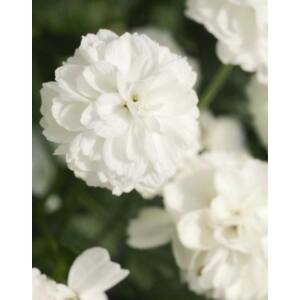 Achillea ptarmica 'Marshmallow' – Fehér telt virágú cickafark
