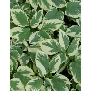 Aegopodium podagraria 'Variegatum' – Tarka levelű podagrafű, köszvényfű