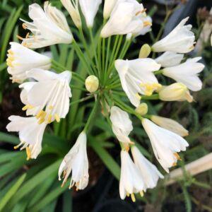 Agapanthus 'Blanche' – Szerelemvirág