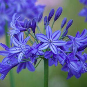 Agapanthus 'Northern Star' - Szerelemvirág (kék)