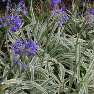 Agapanthus 'Tinkerbell' – Csíkos levelű szerelemvirág