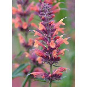 Agastache 'Kolibri' – Izsópfű