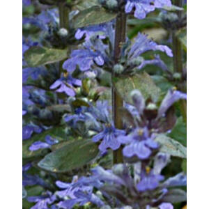 Ajuga reptans 'Mid Blue' - Liláskék virágú indás ínfű