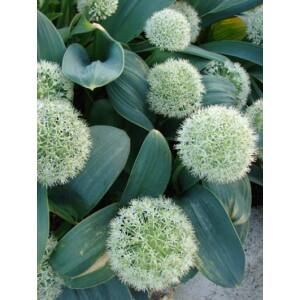 Allium karataviense 'Ivory Queen' -  Kéknyelvű hagyma