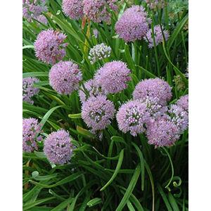 Allium senescens - Díszhagyma