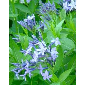Amsonia 'Blue Ice' - Amson virág