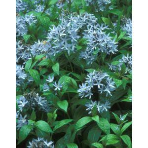 Amsonia tabernaemontana – Széleslevelű csillagmeténg, Amson-virág