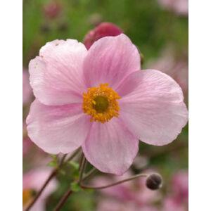 Anemone hupehensis 'Pink Saucer' - Szellőrózsa (halvány rózsaszín)