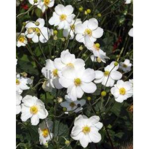 Anemone × hybrida 'Honorine Jobert' - Fehér szellőrózsa