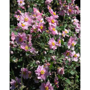 Anemone × hybrida 'Serenade' - Hibrid rózsaszín szellőrózsa