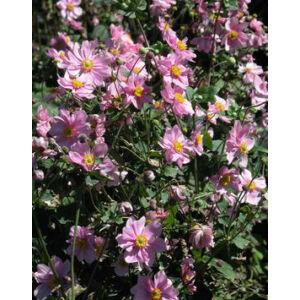 Anemone × hybrida 'Serenade' - Hibrid rózsaszín szellőrózsa (14-es cserép)