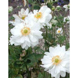 Anemone × hybrida 'Whirlwind' - Szellőrózsa (fehér féltelt hibrid)