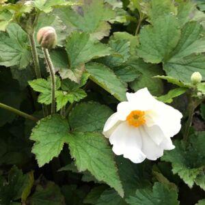 Anemone 'Little White Princess' - Erdei szellőrózsa