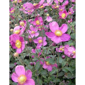 Anemone 'Pretty Lady Susan' - Szellőrózsa (rózsaszín)