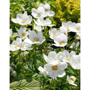 Anemone sylvestris – Erdei szellőrózsa