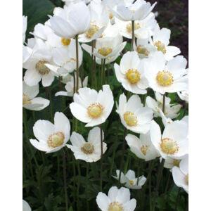 Anemone sylvestris 'Madonna' - Hibrid fehér szellőrózsa