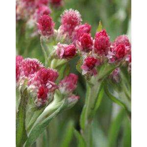 Antennaria dioica 'Rotes Wunder' - Parlagi macskatalp