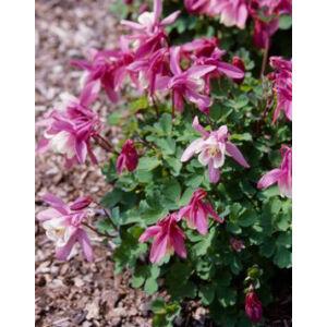 Aquilegia flabellata 'Cameo Rose and White' - Japán harangláb (rózsaszín, fehér)