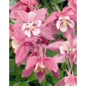 Aquilegia 'Spring Magic Rose and Ivory' - Harangláb (rózsaszín-vajsárga) (14-es cserépben)