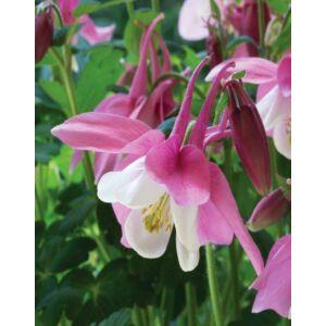 Aquilegia 'Spring Magic Rose and White' – Harangláb (rózsaszín-fehér)