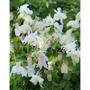 Aquilegia 'Spring Magic White' - Harangláb (fehér)