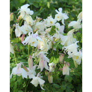 Aquilegia 'Spring Magic White' - Harangláb (fehér)