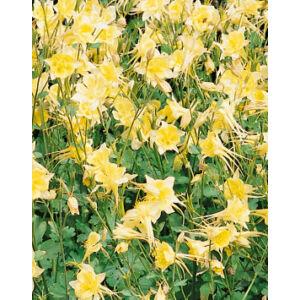 Aquilegia 'Spring Magic Yellow' - Harangláb (vajsárga)