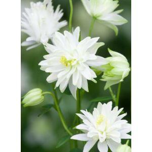 Aquilegia vulgaris 'White Barlow' – Harangláb