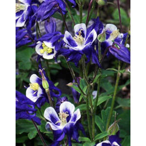 Aquilegia vulgaris 'Winky Blue & White' - Harangláb (kék-fehér)