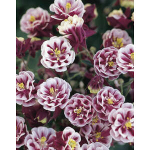 Aquilegia vulgaris 'Winky Double Red & White' - Harangláb (piros-fehér)