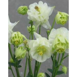 Aquilegia vulgaris 'Winky Double White & White' - Harangláb (fehér)