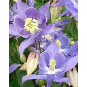 Aquilegia vulgaris 'Winky Early Sky Blue' - Harangláb (Kék)