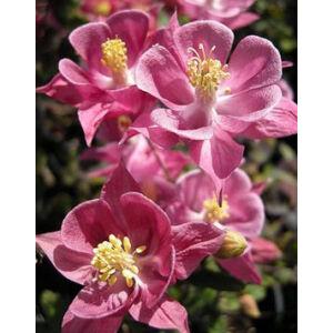 Aquilegia vulgaris 'Winky Rose & Rose' - Harangláb (rózsaszín)
