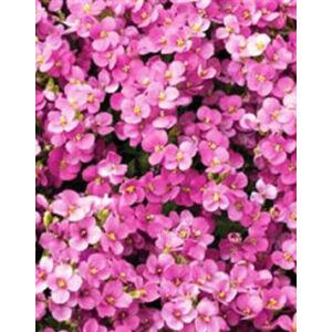 Arabis caucasica 'Little Treasure Deep Rose' - Kaukázusi lilás rózsaszín ikravirág