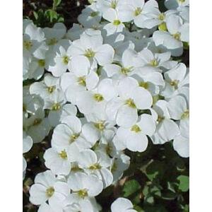 Arabis caucasica 'Little Treasure White' - Kaukázusi fehér ikravirág
