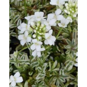 Arabis ferdinandi-coburgii 'Variegata' - Fehér-tarka levelű macedón ikravirág
