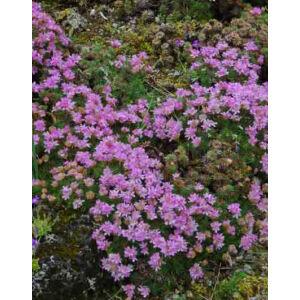 Armeria juniperifolia – Borókalevelű pázsitszegfű