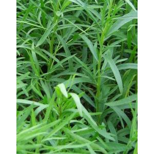 Artemisia dracunculus - Tárkony