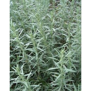 Artemisia ludoviciana 'Silver Queen' - Gyopáros üröm