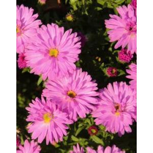 Aster dumosus 'Rosenwichtel' - Törpe őszirózsa (lilás rózsaszín, féltelt)