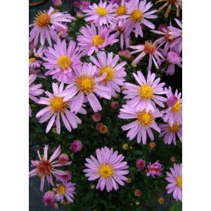 Aster dumosus 'Rozika' - Törpe őszirózsa (lilás rózsaszín)