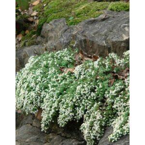 Aster ericoides'Snow Flurry' – Tűlevelű őszirózsa