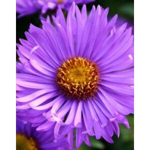 Aster novae-angliae 'Barr's Blue' - Mirigyes liláskék őszirózsa